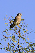 Peri Ann Michels - Female American Kestrel
