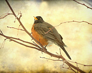 American Robin Photos - Female American Robin by James Bo Insogna