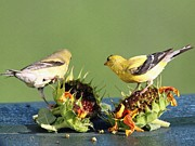 Wild Canary Posters - Female and Male American Goldfinch Poster by J McCombie