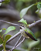 Hummingbird Prints Prints - Female Annas Hummingbird Print by Phill  Doherty