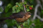 Birds - Female Boat Tailed Grackle by Kathy Gibbons