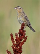 Female Pyrography Prints - Female Bobolink Print by Daniel Behm