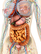 Small Intestine Posters - Female Body Showing Digestive Poster by Stocktrek Images