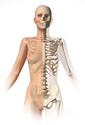 Vertebral Ribs Posters - Female Body With Bone Skeleton Poster by Leonello Calvetti
