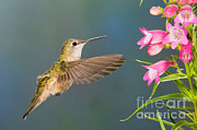 Female Broad-tailed Hummingbirds Print by Anthony Mercieca