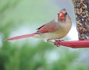 Robert ONeil - Female Cardinal at the...