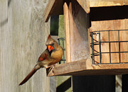 Orange And Black Birds Posters - Female Cardinal  Poster by Brenda Brown