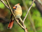 Ellen Ryan - Female Cardinal