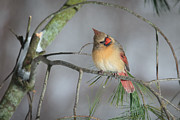 Female Prints - Female Cardinal Print by Everet Regal