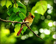 City Scapes Greeting Cards Posters - Female Cardinal in a Sea of Green Poster by Carol Toepke