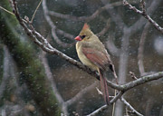 Red Bird In Snow Prints - Female Cardinal In Snow 01 Print by Shelly Gunderson