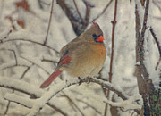 Red Cardinals In Snow Prints - Female Cardinal in the Snow II Print by Sandy Keeton