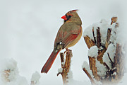 Snow Bird Posters - Female Cardinal in the Snow Poster by Sandy Keeton