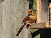 Gray And Black Beak Posters - Female Cardinal looking Pretty Poster by Brenda Brown