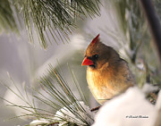 Cardinals In Snow Prints - Female Cardinal Nestled In Snow Print by Randall Branham