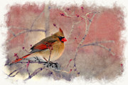 Dan Friend - Female cardinal portrait