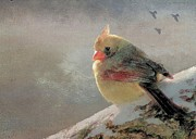 Female Cardinal V Print by Janette Boyd