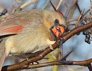 Robert Frederick - Female Cardinal With...