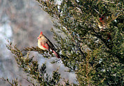 Karen Adams - Female Cardinals in...