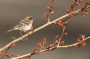 Kirk Norbury - Female Chaffinch On A...