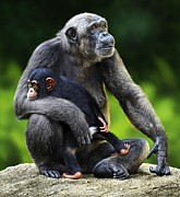 Chimpanzee Digital Art Prints - Female Chimpanzee With Young Print by Owen Bell