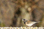 Birdseed Art - Female Dark-eyed Junco by Sean Griffin
