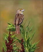 Female Dickcissel Print by Daniel Behm