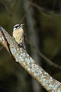 John Haldane - Female Downy Woodpecker