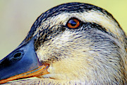 Duck Dynasty Framed Prints - Female Duck Close Up Framed Print by Optical Playground By MP Ray
