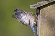 Sialia Sialis Metal Prints - Female Eastern Bluebird Feeding Young Metal Print by Bonnie Barry