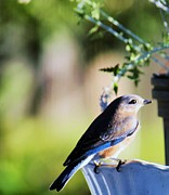 Nereida Slesarchik Cedeno Wilcoxon - Female Eastern Bluebird