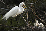 Bill LITTELL - Female Egret with chicks