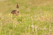 Kirk Norbury - Female European roe deer