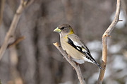 David Porteus - Female Evening Grosbeak