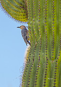 Fred J Lord - Female Gila Woodpecker...