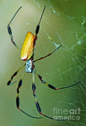Orb Weaver Framed Prints - Female Golden Silk Spider Nephila Framed Print by Millard H. Sharp