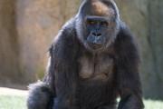 Garry Gay - Female Gorilla