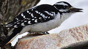 Alan Kurtz - Female Hairy Woodpecker