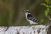 Female Hairy Woodpecker Print by Linda Freshwaters Arndt