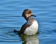 Kathy Baccari - Female Hooded Merganser I