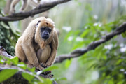 JPLDesigns - Female Howler Monkey