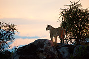 Hunter Art - Female lion at sunset. Serengeti. Tanzania by Michal Bednarek