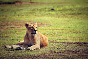 Female Lion Lying. Ngorongoro In Tanzania Print by Michal Bednarek