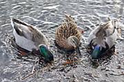 Susan Wiedmann - Female Mallard Duck and Her Two Suitors