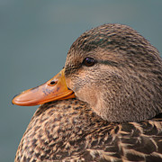 Bob and Jan Shriner - Female Mallard Duck
