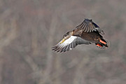 Jim Nelson - Female Mallard Landing