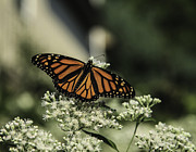 Wayne Oberparleiter Metal Prints - Female Monarch Butterfly Metal Print by Wayne Oberparleiter
