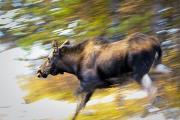 Light Streak Prints - Female Moose Running Through Woods Print by Ken Gillespie