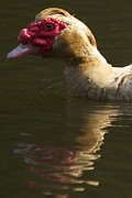 Female Muscovy Duck Print by Allan Morrison