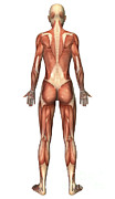 Muscular Digital Art Posters - Female Muscular System, Back View Poster by Stocktrek Images
